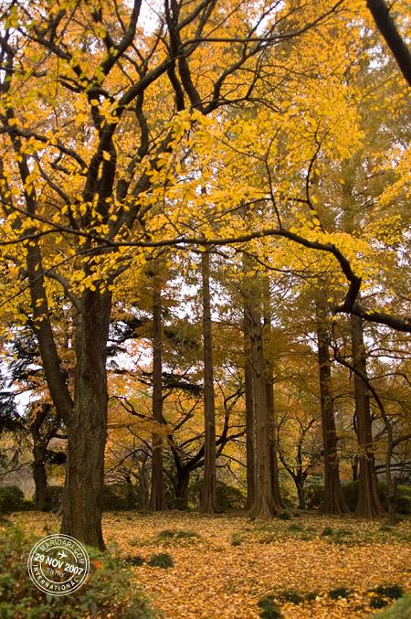 Yellow leaves, autumn forest, Shinjuku Gyoen National Garden, Shinjuku, Tokyo, Japan
