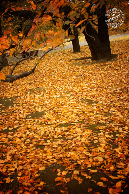 Shinjuku Gyoen - a carpet of brown autumn leaves