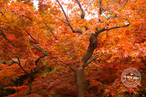 Red Japanese smooth maple leaves (momiji) in autumn at Shinjuku Gyoen, Tokyo, Japan